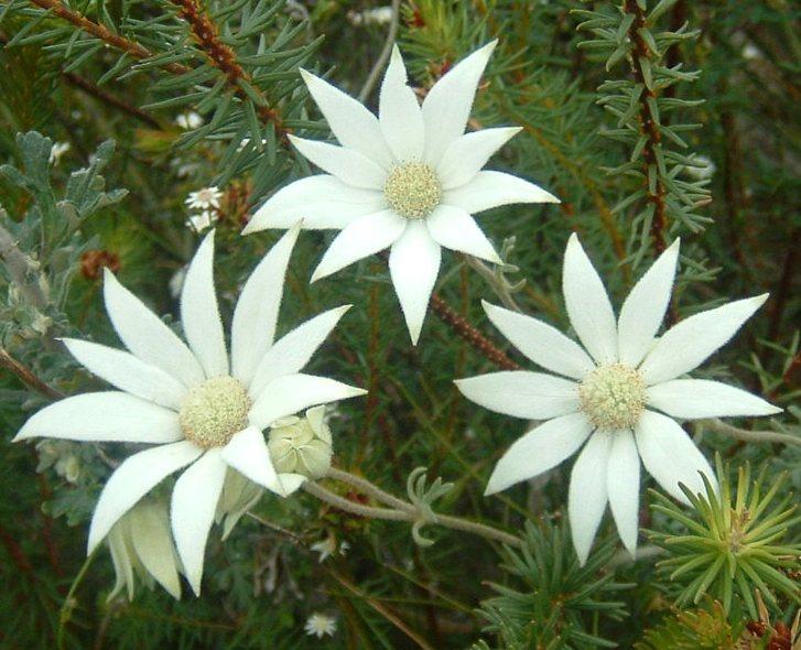 flannel flower 5